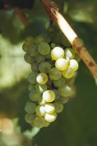 Semillon druif